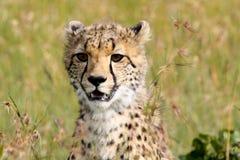 Portrait d'un jeune guépard Image stock