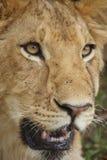 Portrait d'un jeune lion Images libres de droits