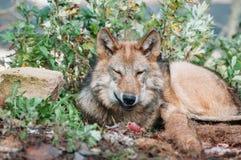 Portrait d'un jeune loup Photo stock