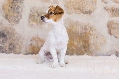 Portrait d'un jeune petit chien mignon au-dessus du fond en pierre Amour Images stock