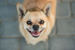 Portrait d'un joyeux Chahuahua photographie stock libre de droits