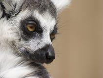 Portrait d'un lémur Photographie stock libre de droits
