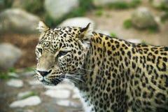 Portrait d'un léopard animal repéré prédateur photographie stock