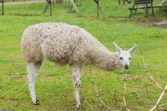 Portrait d'un lama blanc sur le fond vert Images libres de droits