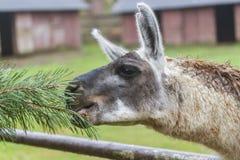 Portrait d'un lama de bron sur le fond vert Images libres de droits