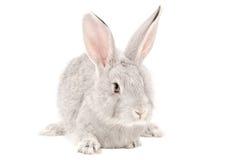 Portrait d'un lapin gris Image stock