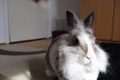 Portrait d'un lapin pelucheux de lionhead images libres de droits