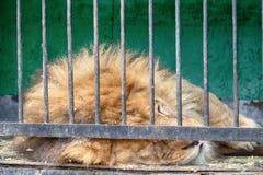 Portrait d'un lion avec un regard placide impressionnant photos libres de droits