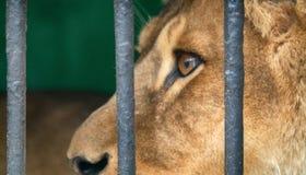 Portrait d'un lion avec un regard placide impressionnant image libre de droits