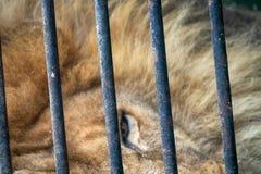 Portrait d'un lion avec un regard placide impressionnant photo stock