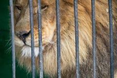 Portrait d'un lion avec un regard placide impressionnant photographie stock