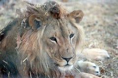 Portrait d'un lion avec une grande crinière dans l'herbe sèche Photo stock