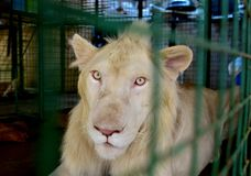 Portrait d'un lion blanc masculin photo stock