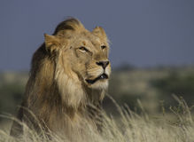 Portrait d'un lion masculin Images libres de droits