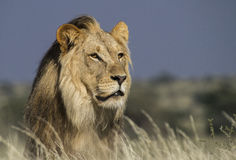 Portrait d'un lion masculin Photo stock