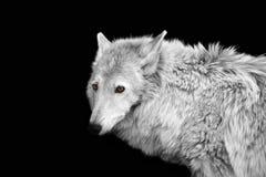 Portrait d'un loup avec des oreilles dans le format blanc noir avec les yeux jaunes lumineux images stock