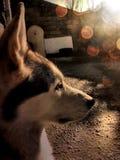 Portrait d'un loup de chien dans le profil sur une terrasse image stock