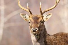 Portrait d'un mâle de cerfs communs affrichés Images libres de droits