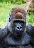 Portrait d'un mâle de gorille Photos stock