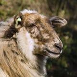 Portrait d'un mouton de Mergelland photos stock