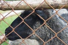 Portrait d'un mouton derrière la clôture rouillée de fil photo libre de droits