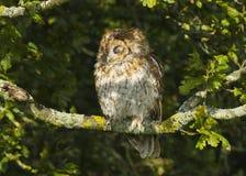 Portrait d'un oiseau d'aluco de strix de Tawny Owl de proie dans les Anglais, campagne BRITANNIQUE image libre de droits