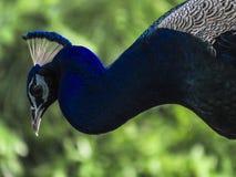 Portrait d'un oiseau de paon avec les plumes ouvertes dans la saison de mousson photos stock