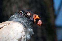 Portrait d'un oiseau de vautour de roi photos stock