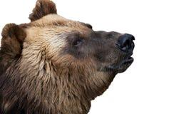 Portrait d'un ours photos stock