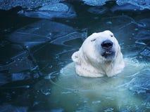 Portrait d'un ours blanc malheureux de l'eau Glace mince non gentille images stock