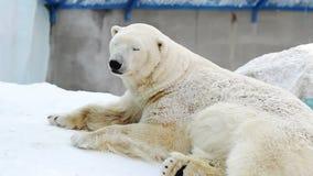 Portrait d'un ours blanc se reposant dans un zoo banque de vidéos