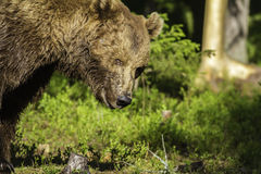 Portrait d'un ours de Brown masculin (arctos d'Ursus) Photos stock