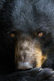 Portrait d'un ours noir Photo stock