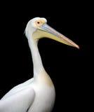 Portrait d'un pélican blanc européen Photographie stock libre de droits