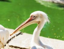 Portrait d'un pélican blanc sur un étang un jour d'été Photographie stock libre de droits