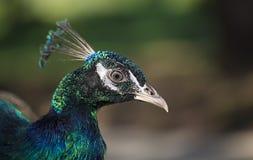 Portrait d'un paon Photo libre de droits