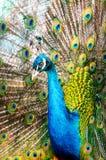 Portrait d'un paon dans un zoo image stock