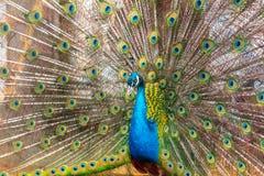 Portrait d'un paon dans un zoo photo libre de droits