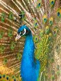 Portrait d'un paon dans un zoo photographie stock libre de droits