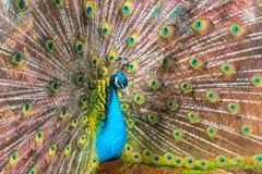 Portrait d'un paon dans un zoo images libres de droits
