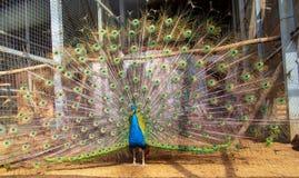 Portrait d'un paon dans un zoo image libre de droits