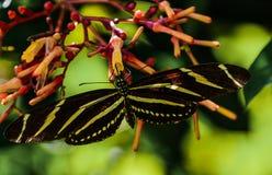 Portrait d'un papillon de zèbre sur des fleurs de trompette image libre de droits