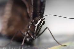 Portrait d'un papillon, macro Images stock