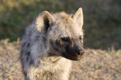 Portrait d'un petit animal repéré d'hyène Image stock
