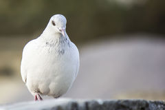 Portrait d'un pigeon marchant et posant Image stock