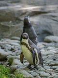 Portrait d'un pingouin sur l'herbe Images stock