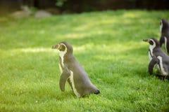 Portrait d'un pingouin sur l'herbe Photo stock