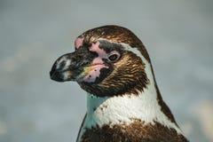 Portrait d'un pingouin sur le fond brouillé uniforme image libre de droits