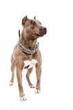 Portrait d'un pitbull se tenant dans intégral Image libre de droits