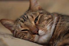 Portrait d'un plan rapproché aux cheveux courts de chat domestique de sommeil Images libres de droits